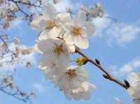 歩いて楽しい、見て美しい東京の桜散歩