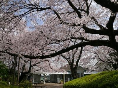 横浜ガイドのお気に入り、山手公園のサクラ。クラブハウスを覆うように見える枝ぶりが見事(2014年4月1日撮影)