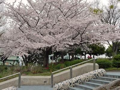 山下公園「水の階段」をあがっていくとサクラの木に出会えます(2016年4月5日撮影)