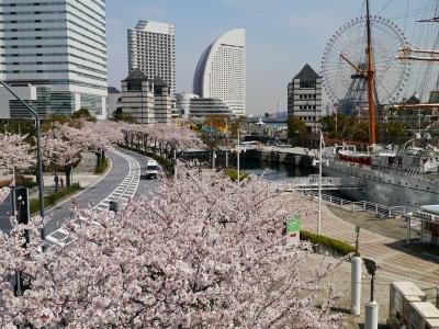 桜木町駅から海に向かって並ぶ、さくら通りの桜並木(2014年4月1日撮影)