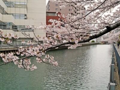 新田間川に覆いかぶさるように咲くサクラが見事(2014年4月2日撮影)