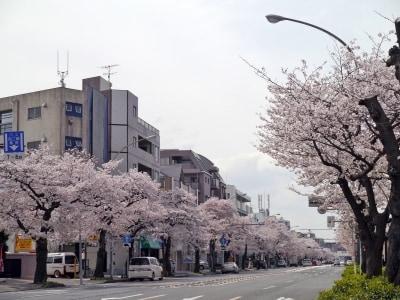 車窓からお花見が楽しめる、本牧通り(2014年4月2日撮影)