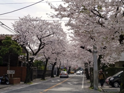 本牧通りから三溪園までサクラ並木が続く、本牧桜道(2014年4月2日撮影)