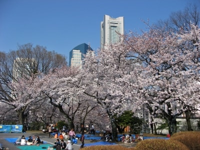 横浜ランドマークタワーとサクラのコラボが見られる、掃部山公園(2014年4月1日撮影)