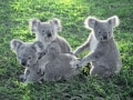 130匹以上!世界最大のコアラ園動物園/ブリスベン