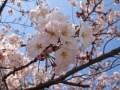 桜の穴場!綾瀬駅前から広がる公園の桜がすごい