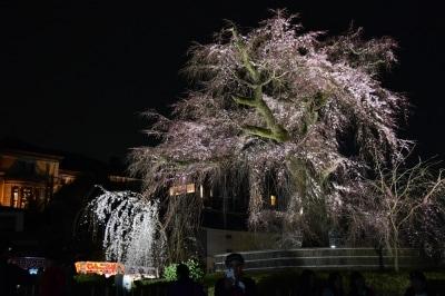 ライトアップされた「祗園枝垂桜」(2016年3月29日撮影)